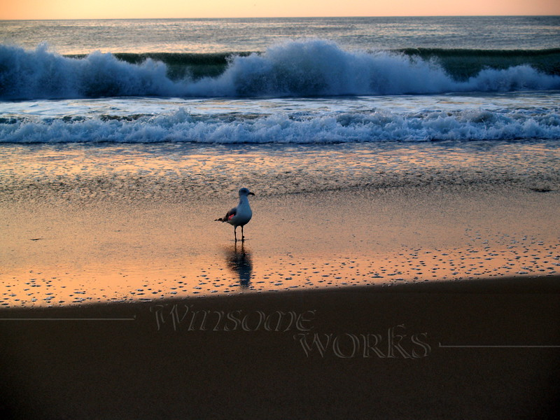 Tagged seagull in surf at sunrise, Ocean Grove NJ