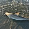 3 foot Bonnethead caught on Jumbo swimp head