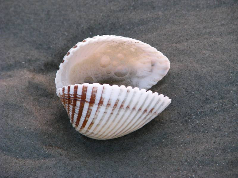 a 'scallopy-type' shell .. nobody home
