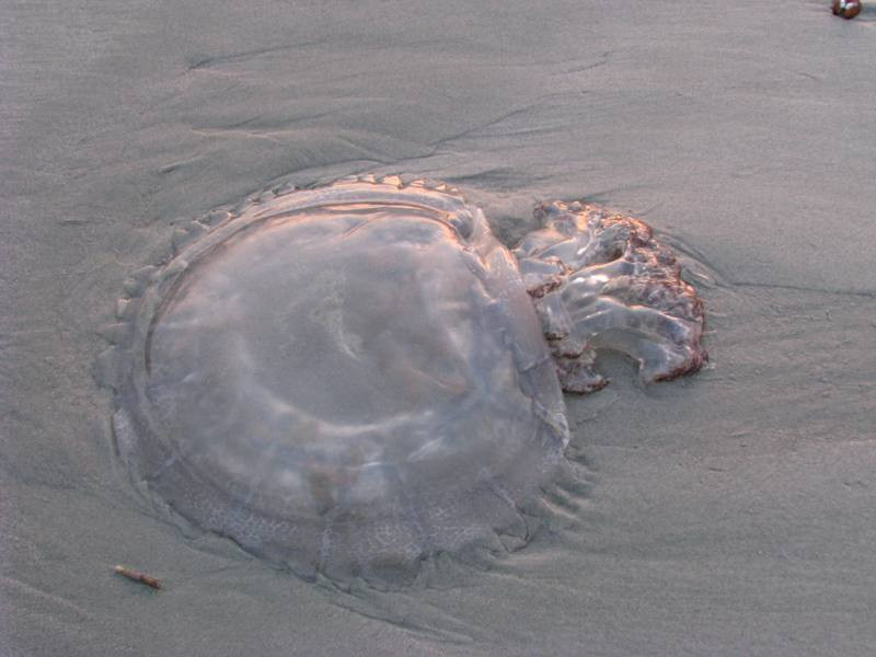 Mister Jelly Fish marooned on the beach at the surf line