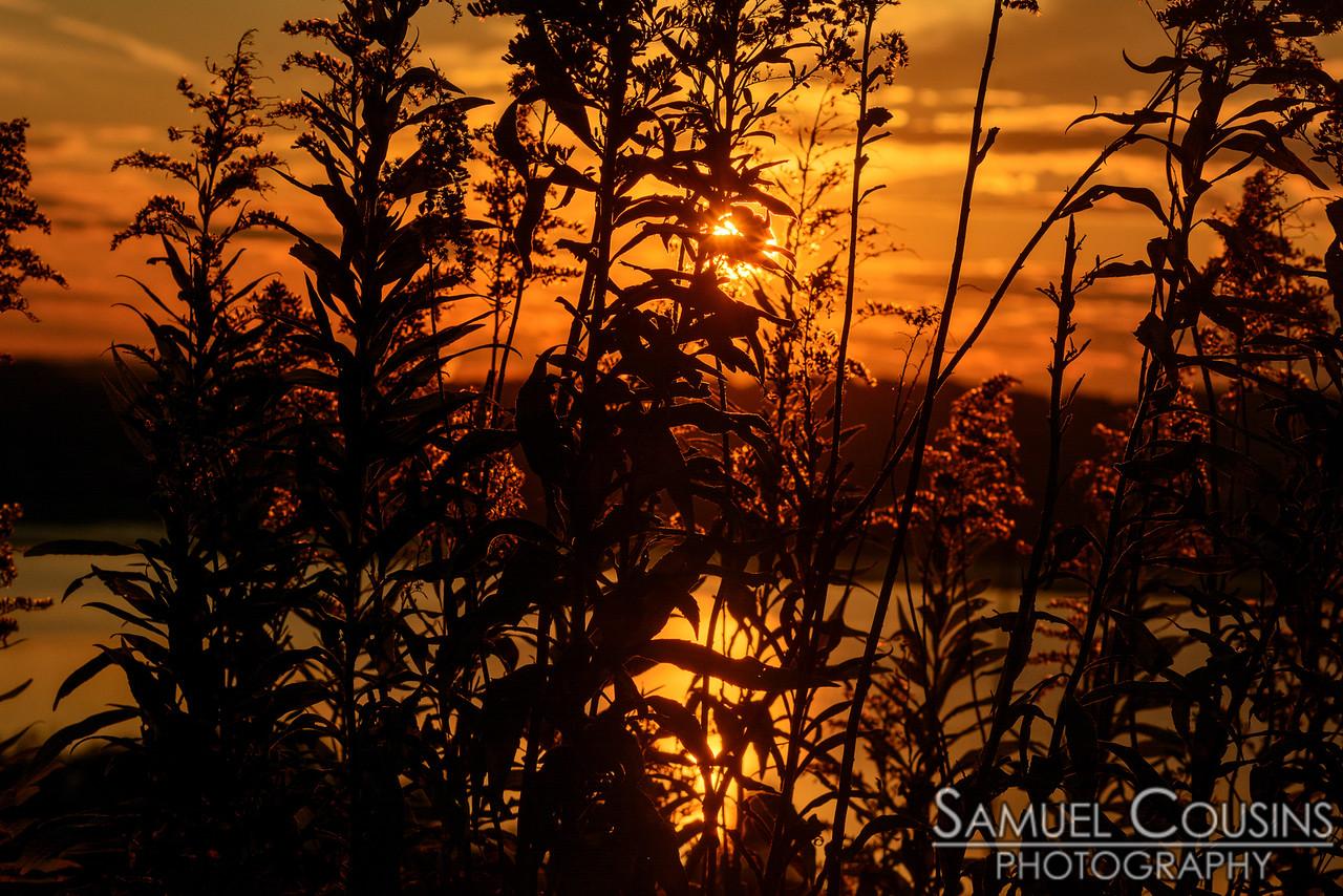 The sun peeking through some goldenrod.