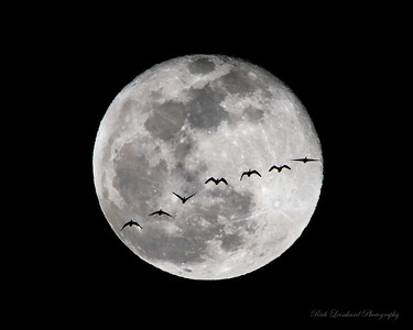 Full Moon with Canadian Geese flying in front of it.  One single exposure.