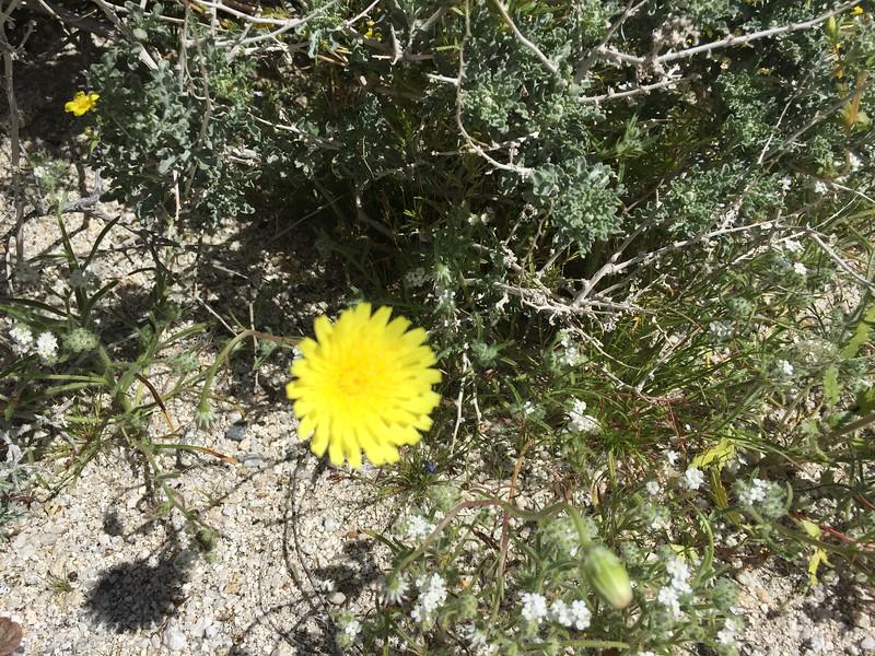 Desert dandelion.