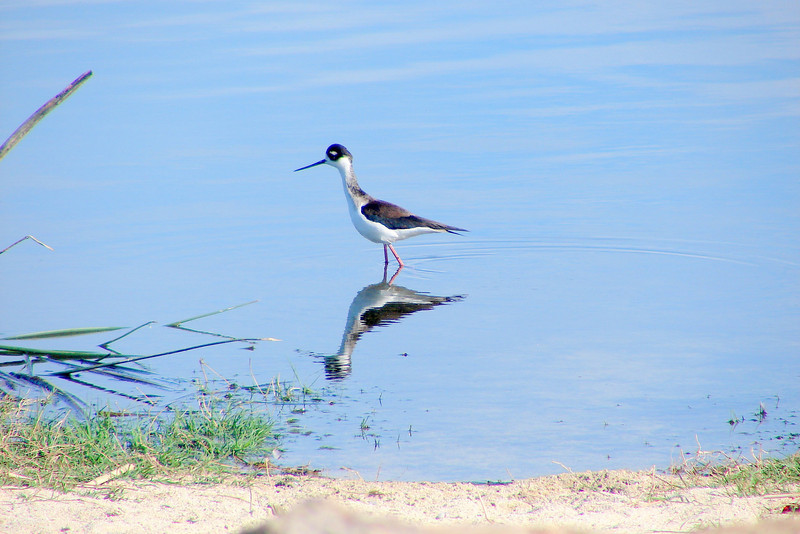 pied stilt in cabo