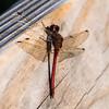 Autumn Meadohawk Dragonfly