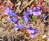 foothill penstemon blue group_DSC_0066