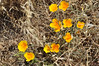 Poppies_group_DSC_0052