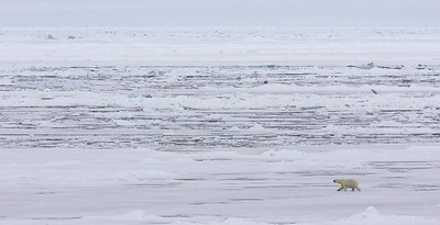 Polar Bear looking for seals on the pack ice