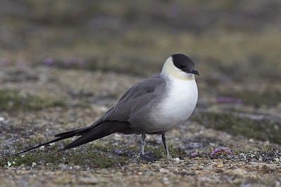 Long Tailed Skua approaching nest