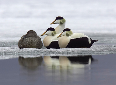 Eiders on ice