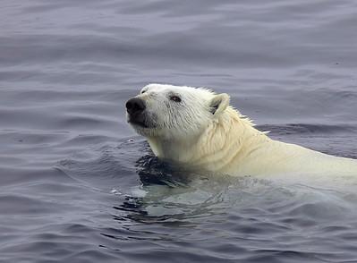 Ploar Bear swimming by the ship