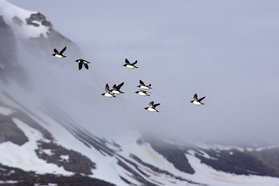 Brunnich's flying back to nesting cliffs