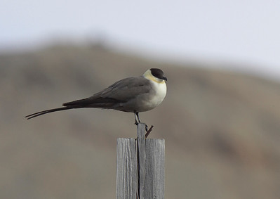 Male Long Tailed Skua on guard