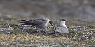 Long Tailed Skuas at nest about to change over