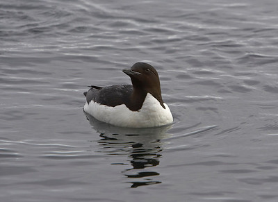 Bunnich's Guillemot taken from zodiac