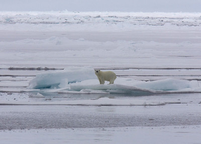 Polar Bear on ice on the frozen sea, about 500 mile from the north pole