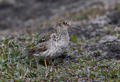 Purple Sandpiper on the tundra