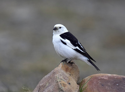 Male Snow Bunting, Svalbard's only breeding passerine
