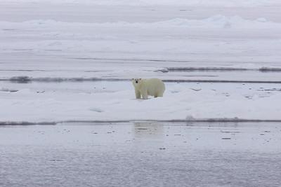 Polar bear on the ice