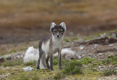 Arctic fox in summer coat