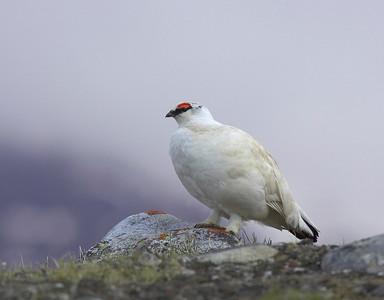 Male Svalbard Ptarmigan