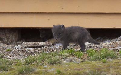 Arctic fox cubs