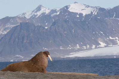 Walrus and mountains