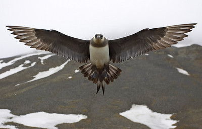 Up close and personal - Arctic Skua