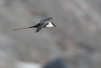 Long tailed Skua.