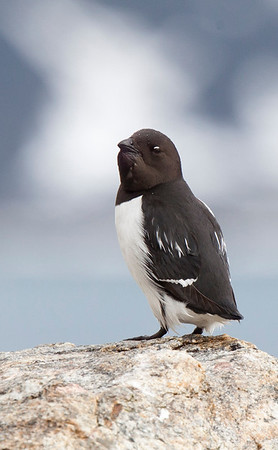 Little Auk.