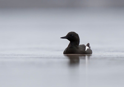 Black Guillemot on calm water.