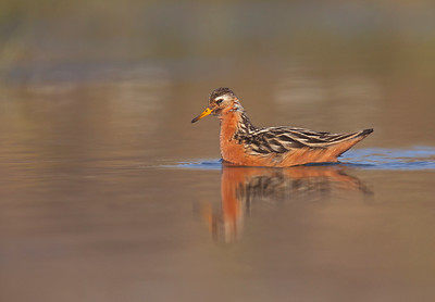 Grey (or red) Phalarope.
