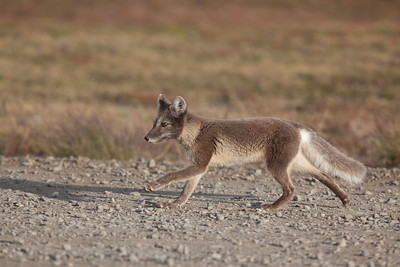 Arctic Fox running.