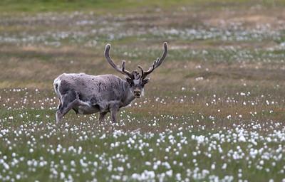 Svalbard reindeer.