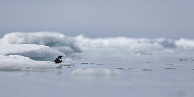 Black Guillemot on an ice flow.