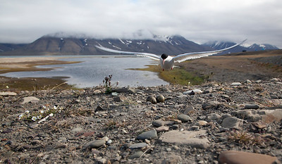 Arctic tern nest by roadside in Longyearbyen.