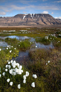 Tundra pools and cottongrass in the Adventdalen