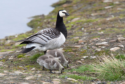 Barnacle goose with goslings