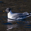 Sabine's Gull, Svalbard June 2014