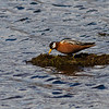 Red (or Gray) Phalarope, Longyearbyen, Svalbard June 2014