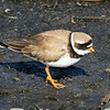 Common Ringed Plover, Longyearbyen, Svalbard June 2014