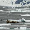 Walruses, Svalbard June 2014