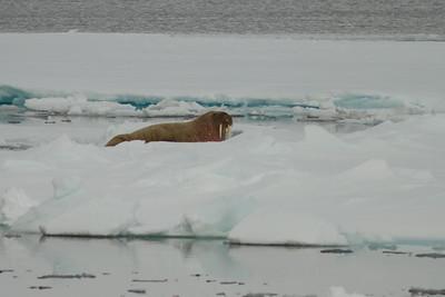 Walruse, Svalbard June 2014