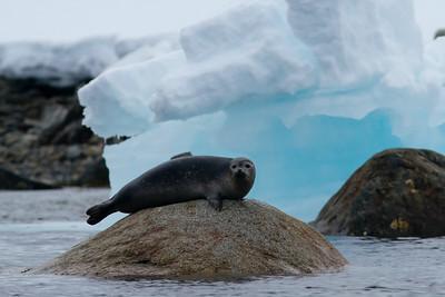 Common (Harbor) Seal, Danskoya Svalbard June 2014