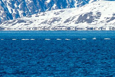 Belugas (White Whales), Svalbard, June 2014