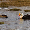 King Eiders Longyearbyen, Svalbard June 2014