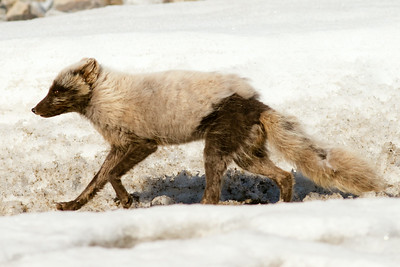 Arctic Fox, Svalbard June 2014