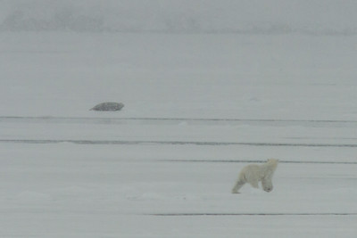 Polar Bear and Bearded Seal, Svalbard June 2014