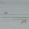 Polar Bear and Bearded Seal, Svalbard June 2014