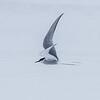 Arctic Tern, Ny-Ålesund, Svalbard June 2014